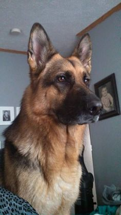 Wicked Training Your German Shepherd Dog Ideas. Mind Blowing Training Your German Shepherd Dog Ideas. Big Dogs, I Love Dogs, Cute Dogs, Dogs And Puppies, Doggies, Awesome Dogs, Large Dogs, Beautiful Dogs, Animals Beautiful