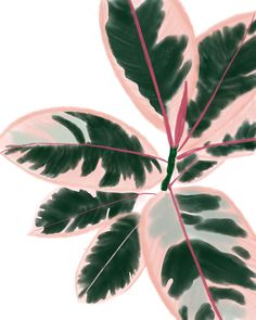 Ruby Rubber Plant – Best Garden Plants And Planting Plant Art, Plant Decor, Plant Painting, Image Deco, Rubber Plant, Rubber Tree, Plant Aesthetic, Pink Plant, Bedroom Plants