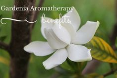 Gardenia Aromatherapy Benefits - For Your Massage Needs