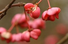 Fruit of the Spindle tree at Salcey Forest, Northampton.