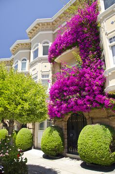 Trained and Colorful Bougainvillea in San Francisco, CA