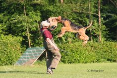 Airedales can do it all with the right owners