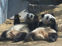 Panda Twins Mei Huan and Mei Lun in China--Having a snack