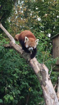 Wingham Wildlife Park - Red Panda