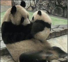 "Panda Bears ""Tell mama what's wrong!"""
