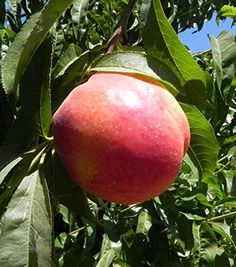 Candy Sprinkles Nectarine Tree Shipped in Soil 5 Gallon Container -- Continue to the product at the image link.