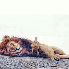 A lion is called a 'king of beasts' obviously for a reason. #lion #lions #savebigcats #africanlion