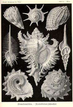 marinni | Ernst Haeckel 1834 - 1919. Kunstformen der Natur
