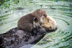 Une Loutre de Mer prend soin de son Petit (2)