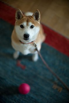 Japanese Shiba dog - all this time my dog speaks Japanese! Cute Puppies, Cute Dogs, Dogs And Puppies, Doggies, Japanese Dogs, Cute Creatures, Baby Dogs, Shiba Inu, Beautiful Dogs