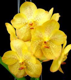 Vanda Kriangchai Yellow Red Lip Vanda Orchids, Red Lips, Bonsai, Yellow, Flowers, Inspiration, Album, Black, Purple Flowers