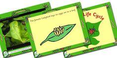 Australia Ladybird Life Cycle PowerPoint - australia, ladybird