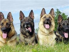 German shepherds...