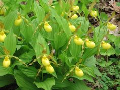 Large Yellow Lady's-Slippers (Cypripedium pubescens) at Garden in the Woods, which is run by the New England Wild Flower Society