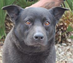 Raider--a friendly, sensitive boy needs a loving home.He is house trained, thoughtful, eager. Very cute.