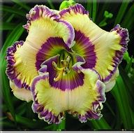 KEEP ON LOOKIN  Daylily from Frank Smith Daylillies
