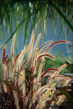 Fuzzy Red Grasses