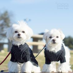Winter will arrive very soon❄️! Get your sweater before it is too late! ・・・ On sale until Oct 1! http://unitedpups.com/sw ・・・ #sweater #blacksweater #dogsweater #black #white#blackandwhite #stylish #stylishdog #chic#maltese #maltipom #maltipoo #shihtzu#yorkie #pomeranian #chihuahua#dachshund #cavalier #japanesechin#puppylove #puppy #poodle #pug #dog#pup #blackisbeautiful #cool #rock #cold