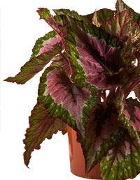 Rex Begonias may look fancy, but they barely take any upkeep. #plants #decorating