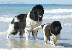 Newfoundland dog with youngster at beach
