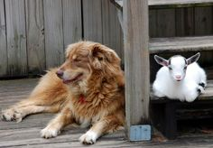 """The """"Lion"""" and the """"Lamb"""""""