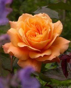 Belvedere ~ Hybrid Tea Rose