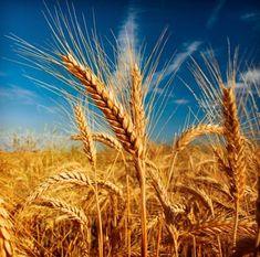 Arroz, trigo, maíz y patata