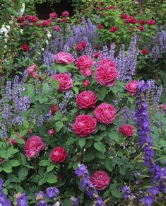Great plant combination - red roses with campanulas and other purple perennials at Mottisfont Abbey