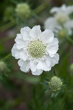 Scabiosa caucasia perfecta 'Alba' – Famous Last Words Summer Flowers, White Flowers, Beautiful Flowers, White Gardens, Belleza Natural, Garden Spaces, Shade Garden, Garden Inspiration, Garden Landscaping