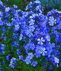 Blue Phlox flowers are approximately 8 to 18 inches and attract a wide variety of wildlife such as butterflies and swallowtails.