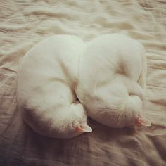 white cats curled up Pretty Cats, Beautiful Cats, Animals Beautiful, Neko, Baby Animals, Funny Animals, Cute Animals, Crazy Cat Lady, Crazy Cats