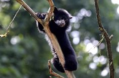 Six month old spectacled bear cup Rina, also known as Andean bear, plays in its enclosure in the zoo Tierpark in Berlin, Germany on June 28, 2013. (Photo by Johannes Eisele/AFP Photo)