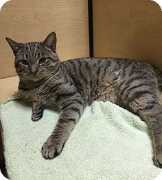 Blackwood, NJ - Domestic Shorthair. Meet Oliver, a cat for adoption. http://www.adoptapet.com/pet/15726469-blackwood-new-jersey-cat