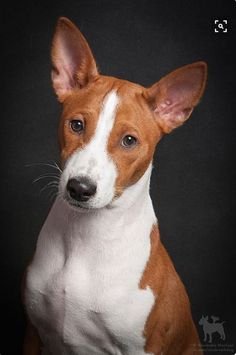 Red and White Basenji. A nice portrait.