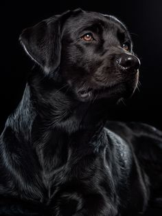 Black Labrador | by Alexander Heinrichs