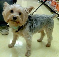 Gucci Yorkie is an adoptable Yorkshire Terrier Yorkie Dog in New York, NY. Hi there... My name is Gucci and I'm a sweet and sassy 8y yorkie/silky terrier x.. I only weigh 8 lbs and I was surrenderd by...