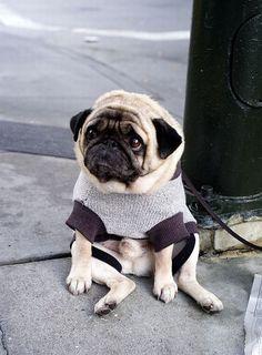 depressed pug