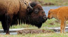 Bison, © Sandy Sisti