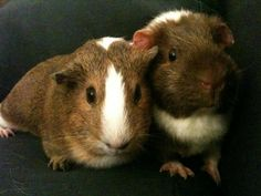 cute guinea pig pictures: Chichi & Chacha