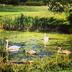 A pair of swans frolic on the 9th Hole at Lakeville Country Club #nature #travel #golf