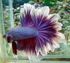 Beautiful Male Feather Tail Betta