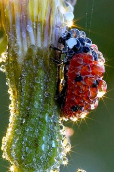 Ladybug covered in dew, looks like a jewel