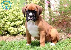 Bert | Boxer Puppy For Sale | Keystone Puppies Boxer Puppies For Sale, Boxer Mix, Design Development, Labrador Retriever, Puppys, Animals, Dogs, Labrador Retrievers, Cubs