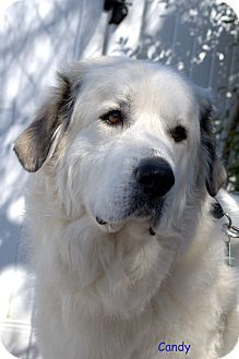3/10/14 Winston-Salem, NC - Great Pyrenees. Meet Candy a Dog for Adoption.