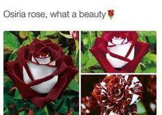 Osiria Rose. #Flowers