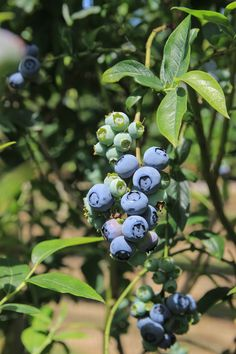 A handmade cottage: A day out 'picking your own' at Cammas Hall Fruit Farm Blueberry Recipes, Days Out, Fields, Cottage, Fruit, Summer, Handmade, Blueberry Cobbler Recipes, Casa De Campo