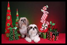 Image detail for -Lil Pals Pet Photography: New Christmas Scene !