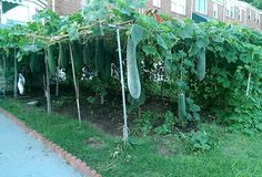 Image result for luffa plant trellis