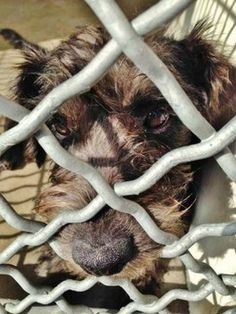 6-month-old terrier in need of rescue pokes nose through kennel cage to escape- #Carson #California