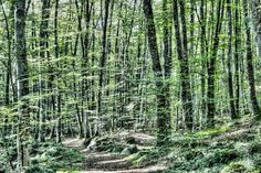 """Light Between Trees (La Fageda d'en Jorda, Catalonia) - From the Gallery """"Trees and Forest"""": http://galleries.marcgcphotography.com/Trees-and-Forests"""